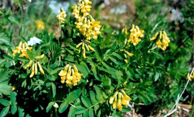Растение долгожителей — астрагал перепончатый