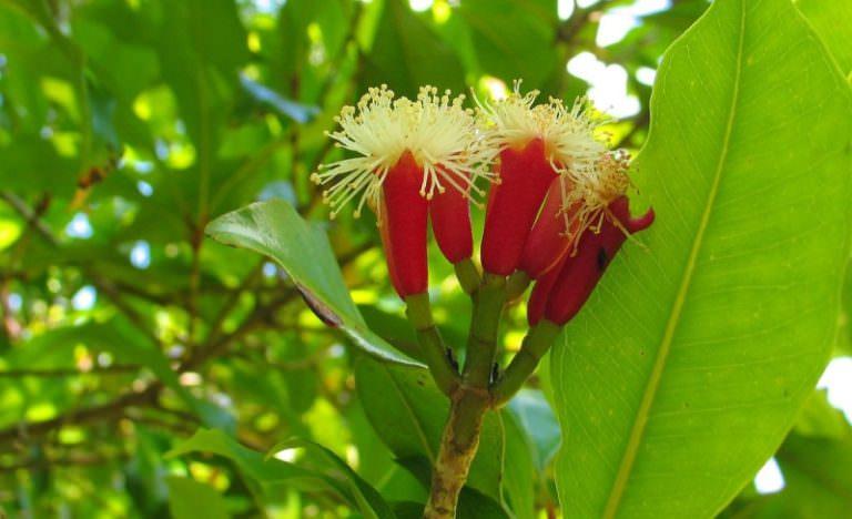 Польза гвоздичного дерева: лечебные свойства и сфера применения