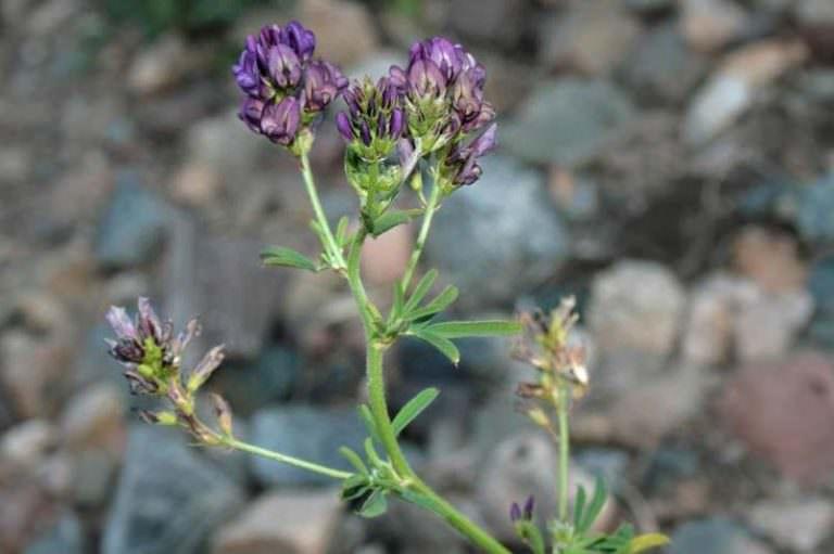 Растение люцерна посевная