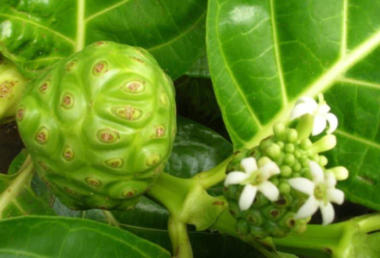 Вечнозеленая моринда лимонолистная