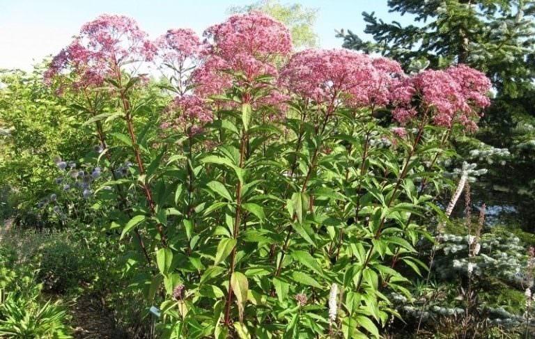Особенности выращивания и целебные свойства посконника пурпурного