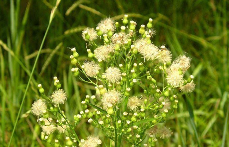 Растение мелколепестник канадский
