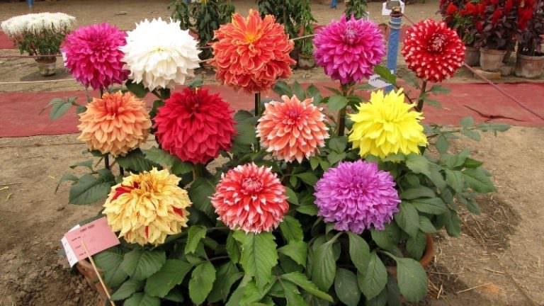 Делаем уличные цветы домашними: как посадить георгины клубнями дома