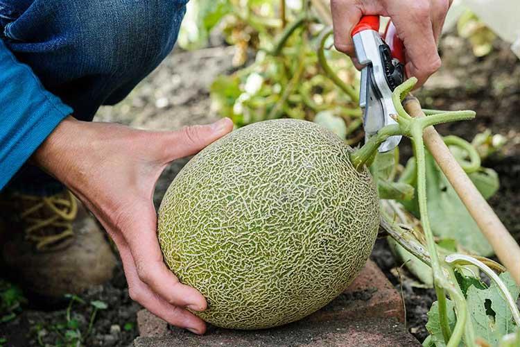 Дыня: выращивание в теплице и открытом грунте