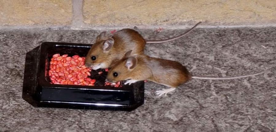 Почему травить мышей это необходимо