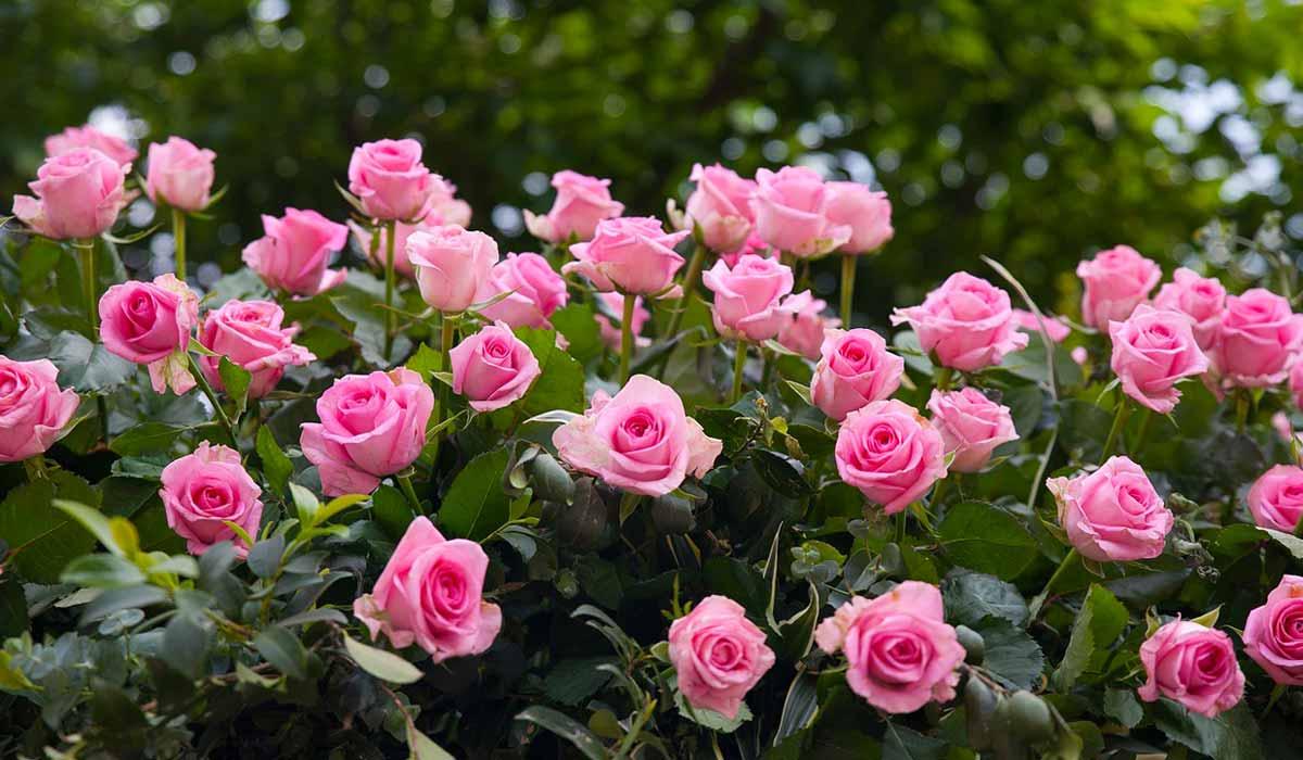 Садовые розы: виды и уход за ними
