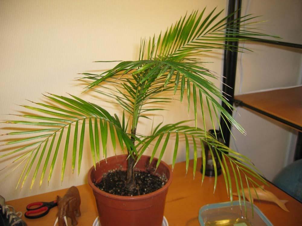 Плюсы комнатных пальм